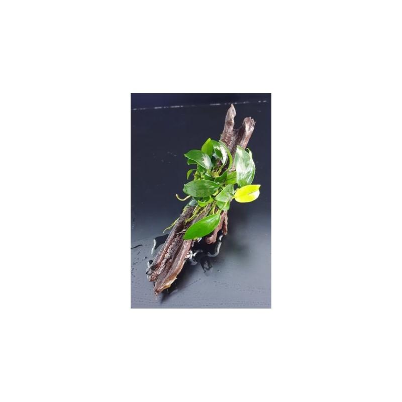 Anubias Nana bonsaï sur racine