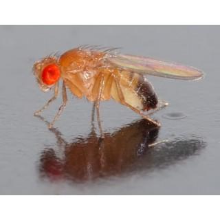 Drosophile melanogaster
